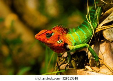 Closeup of the common green forest lizard (Calotes calotes)