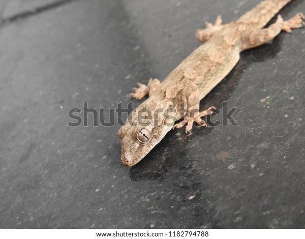 Closeup Common House Gecko Stick On Stock Photo (Edit Now