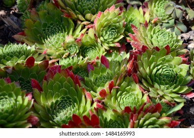 Closeup of common houseleek (Sempervivum), sunbeams on it, a plant for stone garden, a sunny day in summer