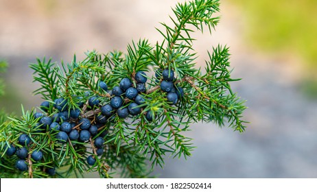 CLoseup Common Juniper branch with fresh blue berries