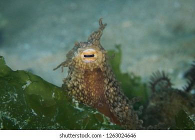 Closeup of a Common Octopus hiding away with its head and eyes sticking out.