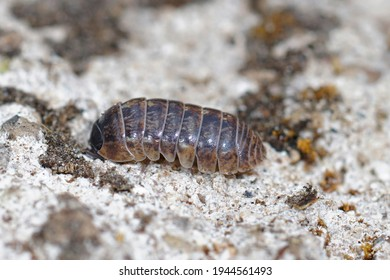 Closeup of a common pill-bug, roly-poly or carpenter,  Armadillidium vulgare on the ground
