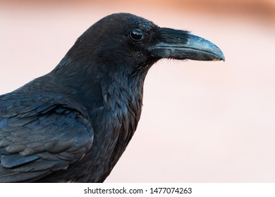 Closeup of common raven (Corvus corax), Utah, USA