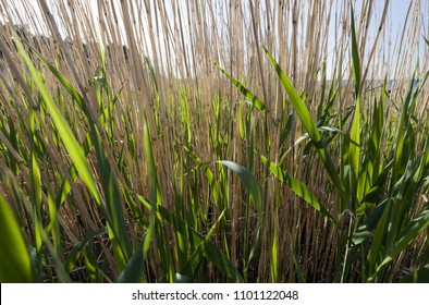 Closeup of common reed at spring when new green leaves are mixed with last year's stems.