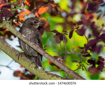Closeup of a common starling sitting on the branch of a tree