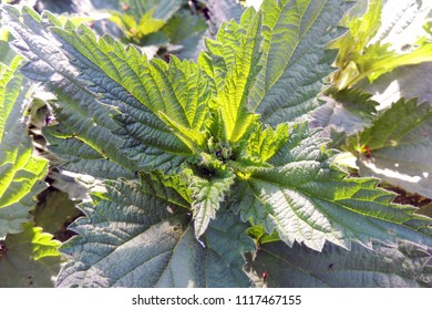 Close-up Common or Stinging Nettle Urtica dioica . Leaves of a nettle add to salads, soups, Russian cabbage soup, sauces and pies, and from its young inflorescences make useful tea.