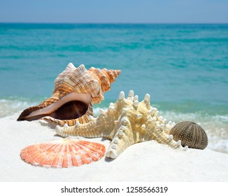 Closeup of Conch and Scallop Shell as Well as a Sea Star and Sea Urchin on a White Sand Florida Beach