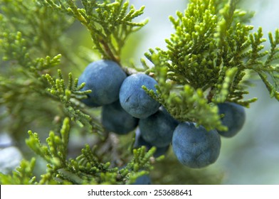 The close-up of  cone ( berry-like)  Juniperus excelsa, commonly called the Greek Juniper. This blue berries are used as spices and in herbal medicine.