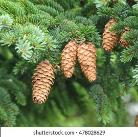 Close-up of cones and needles on a spruce tree