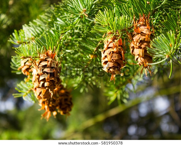 Closeup of the cones on the tree on a sunny day.