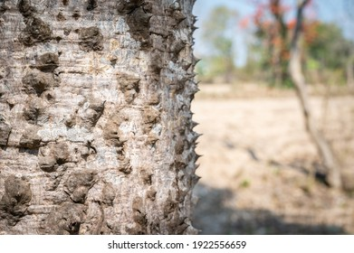 Close-up of cone-shaped spines cover the trunk of the Bombax ceiba tree. The spines deter attacks by animals and the spines become less prominent as the trees mature.