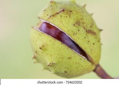 closeup of conker with half-opened husk