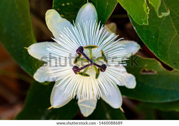 Closeup Constance Elliot Passion Flower Stock Photo Edit Now