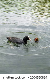 Close-up of Coot (fulica atra, common coot) and coot chick (coot baby) swimming in open water in summer. Waterfowl of the Rallidae family.