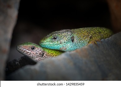 Close-up of copulating pair of European green lizards (Lacerta viridis) with dark background. Portrait of mating couple of lizards on the stone. Courtship of green lizards in the rock.