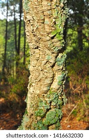 Closeup of cork oak trunk. Forest of Fuencaliente in the Natural Park of the Valley of Alcudia and Sierra Madrona, province of Ciudad Real Castilla la Mancha Spain