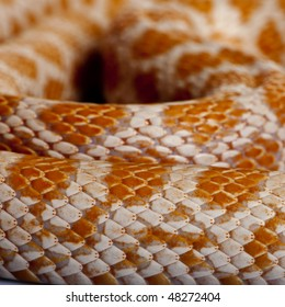 Close-up of corn snakeskin or red rat snakeskin, Pantherophis guttattus
