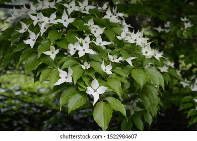 Closeup Cornus kousa - decorative deciduous tree with white petal-like bracts in spring garden