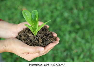 Closeup of cos vegetable sprout and soil in woman's hands with green garden background in sunny day. The symbol of self-reliance lifestyle in go-green and global friendly direction and save earth.