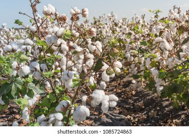 Close-up cotton bud stem on fields ready for harvesting in Corpus Christi, Texas, USA. Agriculture and industrial background. Cotton bolls and stalks crop