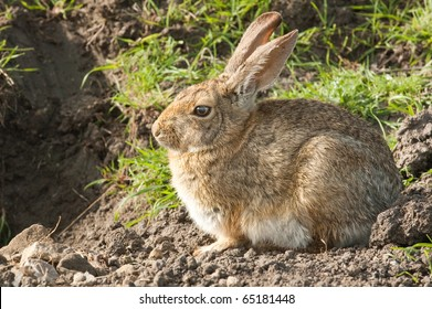 closeup of a cottontail rabbit sitting, watching and waiting beside it's warren entrance