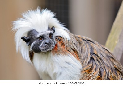 Closeup of Cotton-top Tamarin monkey. Latin name Saguinus oedipus. Tamarin monkey live in tropical forest in South America and they are one of the smallest primates.