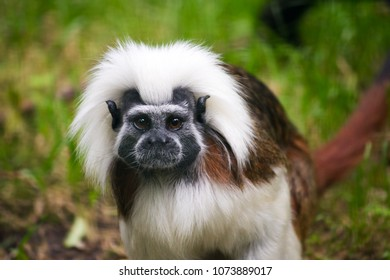 Close-up of Cotton-top tamarin a small New World monkey