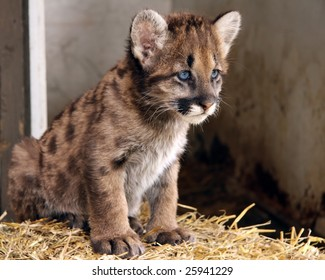 A closeup of a cougar cub with blue eyes