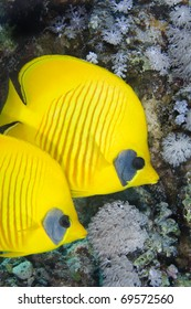 Close-up of a couple of Masked Butterflyfish in the Red Sea, Egypt