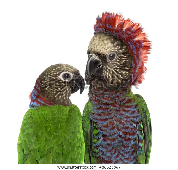 Closeup Couple Redfan Parrot Deroptyus Accipitrinus Stock