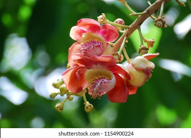 Closeup Couroupita guianensis or Sal flower or Cannonball Tree flower with blurred background
