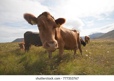 Closeup of a cow in a grass field