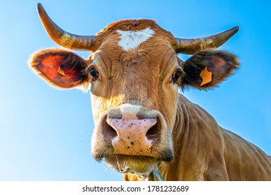 Close-up of a cow head