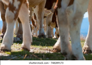 Close-up of cow hooves on a green pasture.