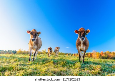 Closeup of a cow looking at the camera, Stowe, Vermont, USA