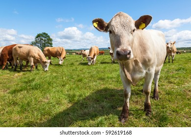 Close-up of a cow in a meadow