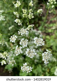 Close-up of cow parsley in the summer sun