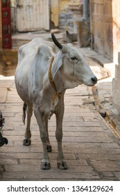 Close-up of cow standing in alley, Jaisalmer Fort, Jaisalmer, Rajasthan, India