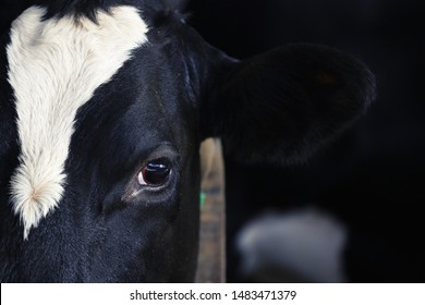Close-up of cow's eye and ear