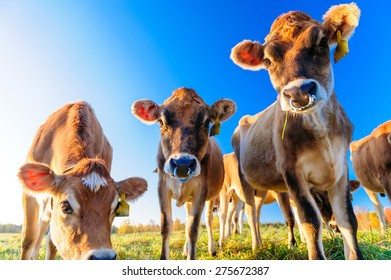 Closeup of cows looking at the camera, Stowe, Vermont, USA