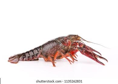 Closeup of crayfish on white background