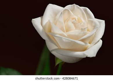 Closeup of a cream-colored rose against a brown background.
