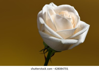 Closeup of a cream-colored rose against a golden background.