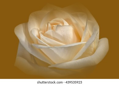 Closeup Of A Cream-Colored Rose Against A Golden Background 2.