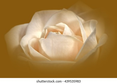 Closeup Of A Cream-Colored Rose Against A Golden Background 1.