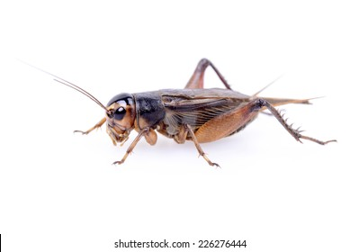 A close-up of a cricket crawling on a white background