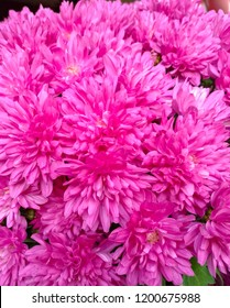 Close-up crimson chrysanthemums, a few macro flowers fill the frame. Freshness, bloom, color