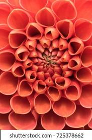 Closeup of crimson dahlia bloom.