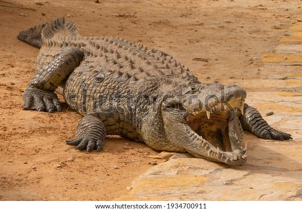 closeup-crocodile-animal-open-mouth-600w