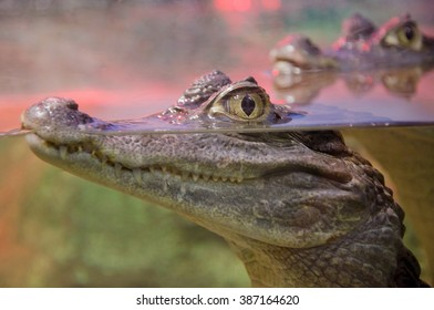 Closeup of a crocodile with its eyes above the water surface (with focus on the eyes)